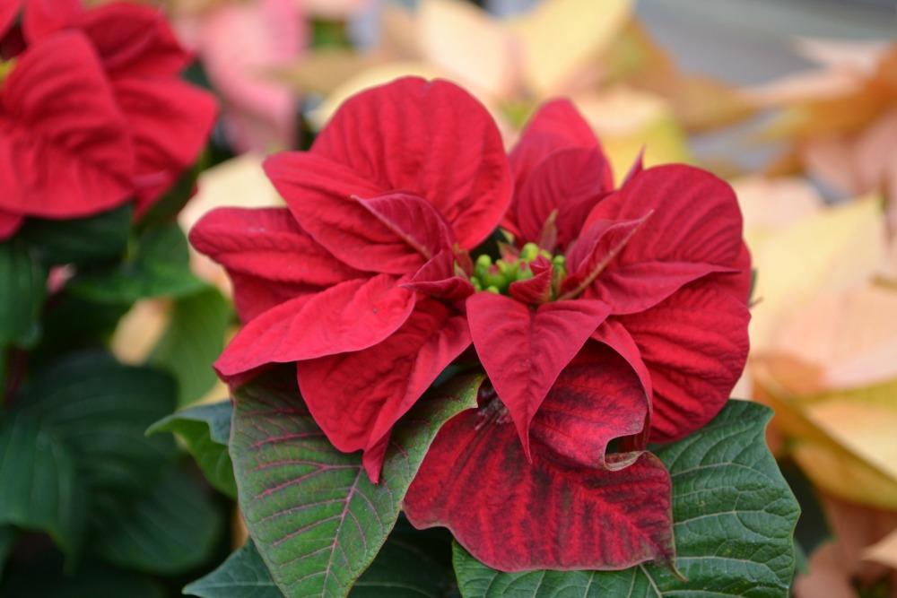 poinsettia winter rose