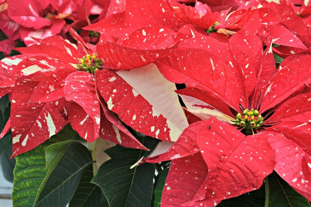 shimmer surprise poinsettia