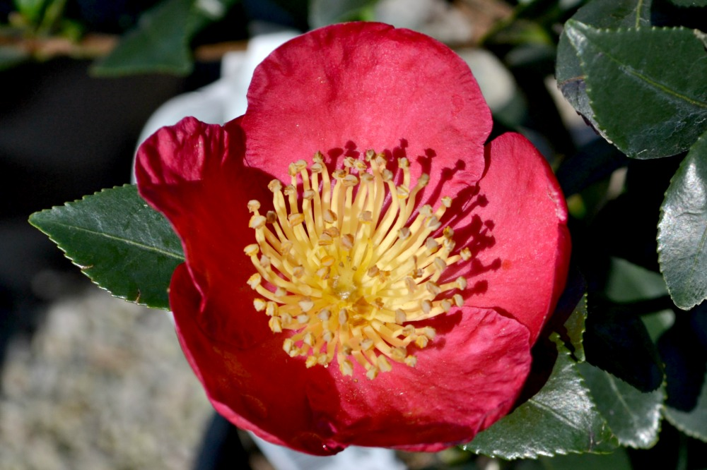 camellia-yuletide-bright