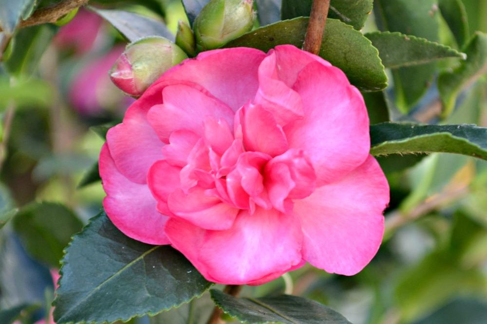 Camellia burgundy sparkle sm