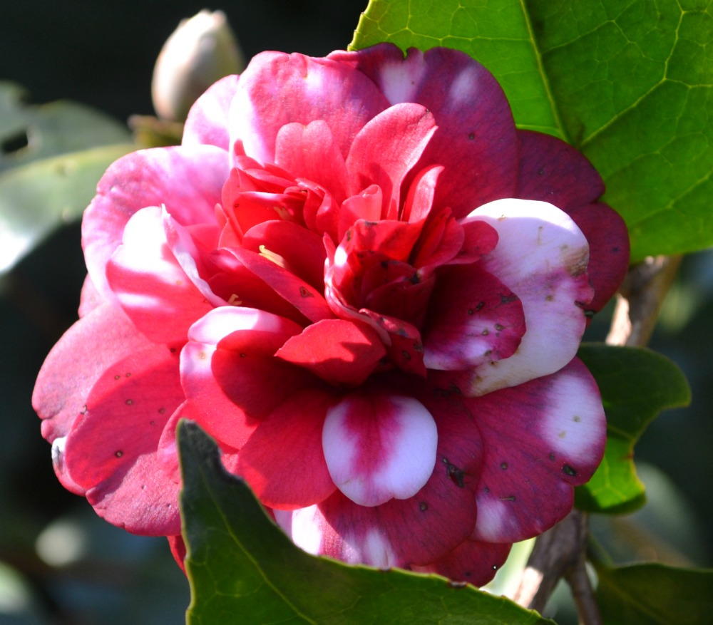 All About Camellias Fairview Garden Center