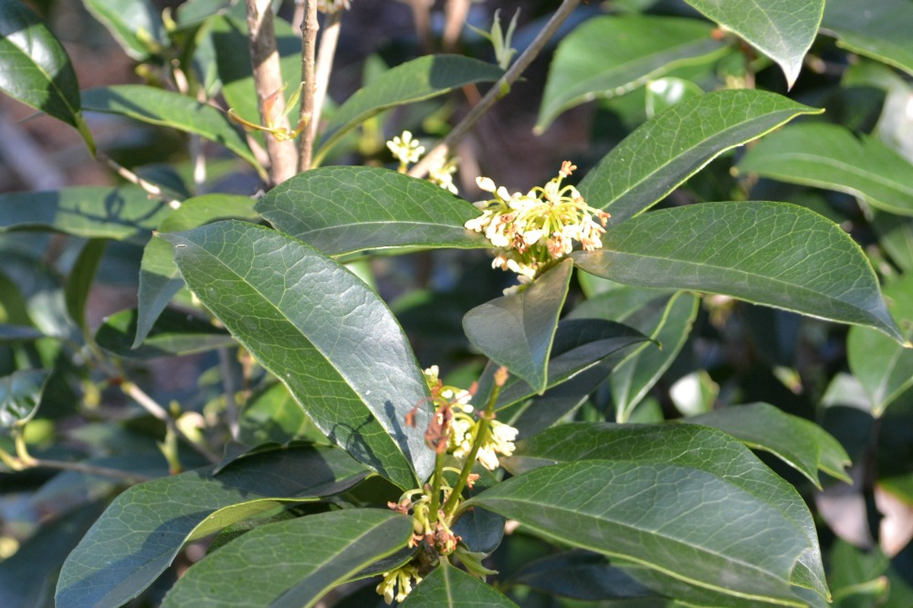 osmanthus-fragrans