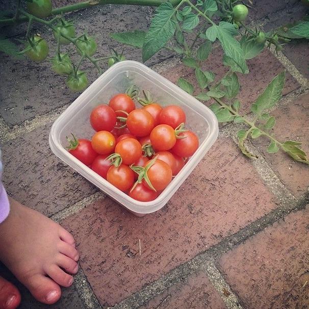 aubs tomato
