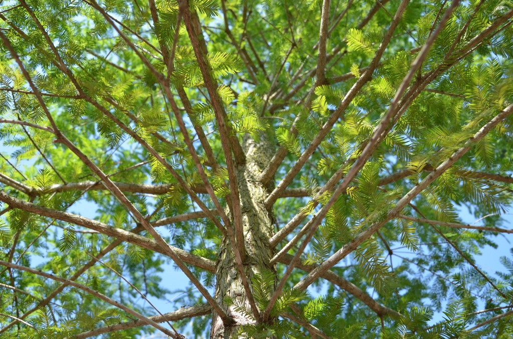 bald_cypress_tree-trunk