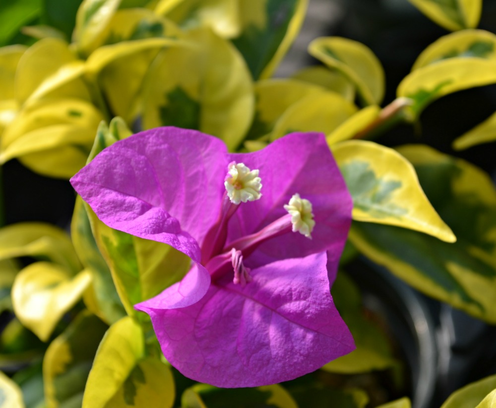 bougainvillea purple variegated