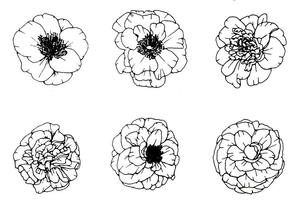 camellia-shapes