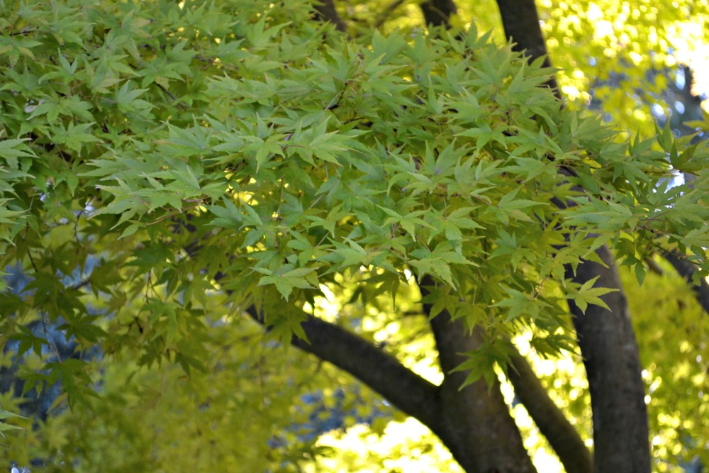 coral bark maple fall transition