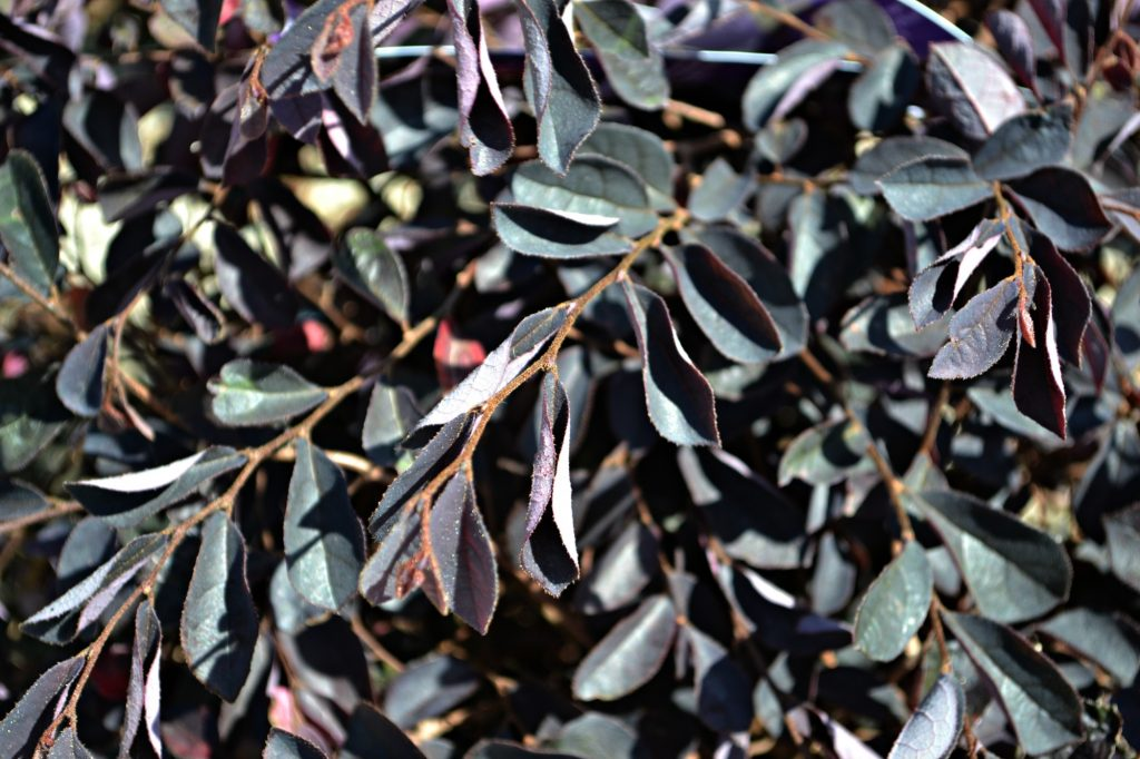 crimson-fire-loropetalum