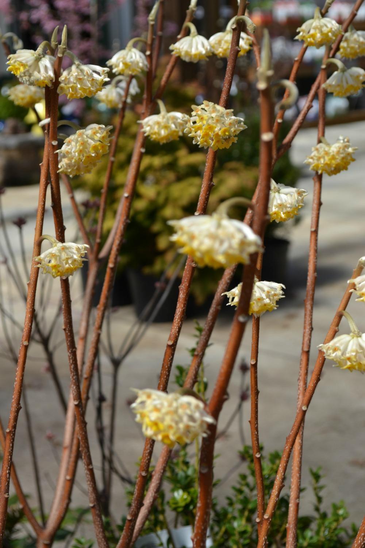 Winter Fragrance Fruit Loops And Orange Peels Fairview Garden Center