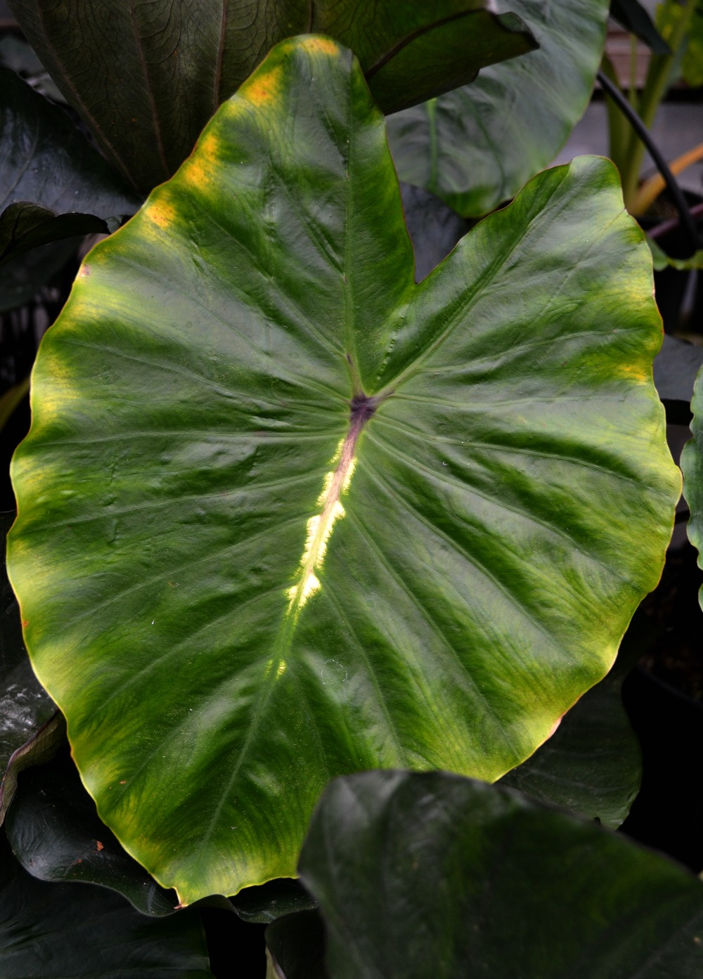 elephant ear variegated
