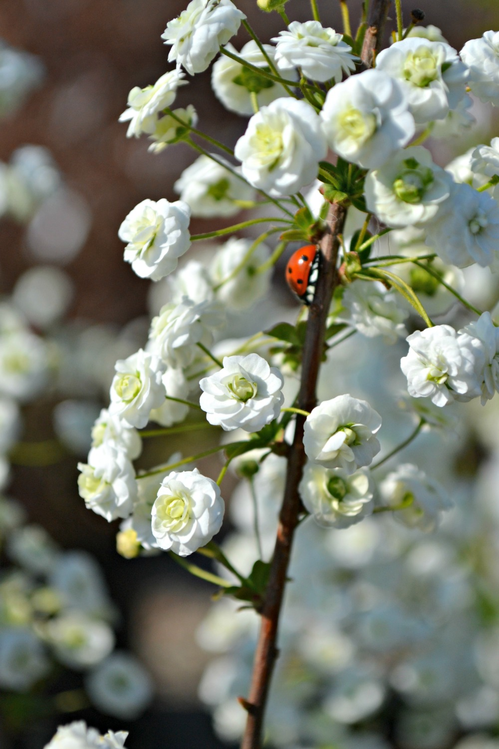 Favorite early spring bloomers fairview garden center bridal wreath is another large deciduous shrub that flowers in the early spring months mightylinksfo