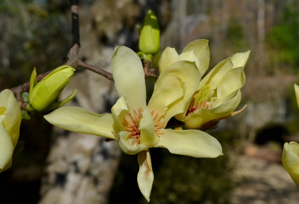 magnolia yellow bloom