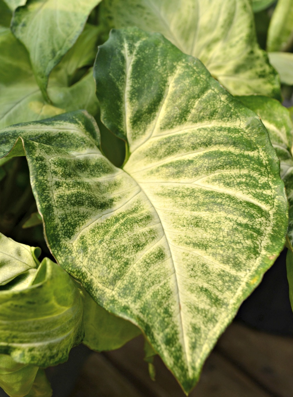 Arrowhead Plant leaf