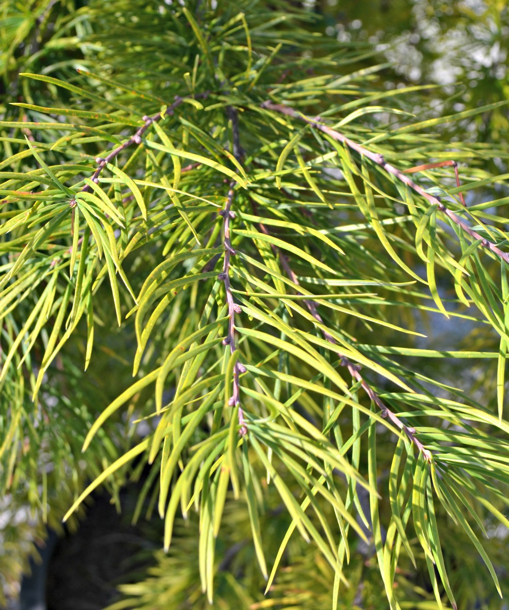 Adding Big Color with Deciduous Trees | Fairview Garden Center