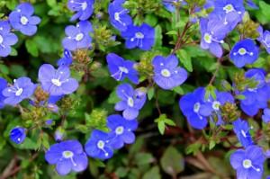 Veronica Georgia Blue - Copy