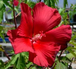 hibiscus perennial 2