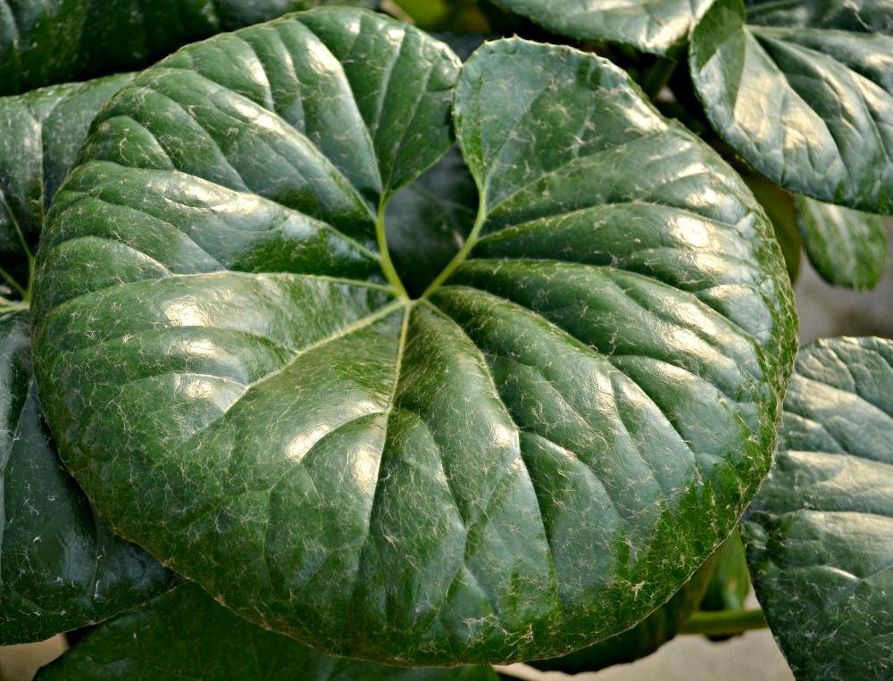 farfugium gigantea leaf