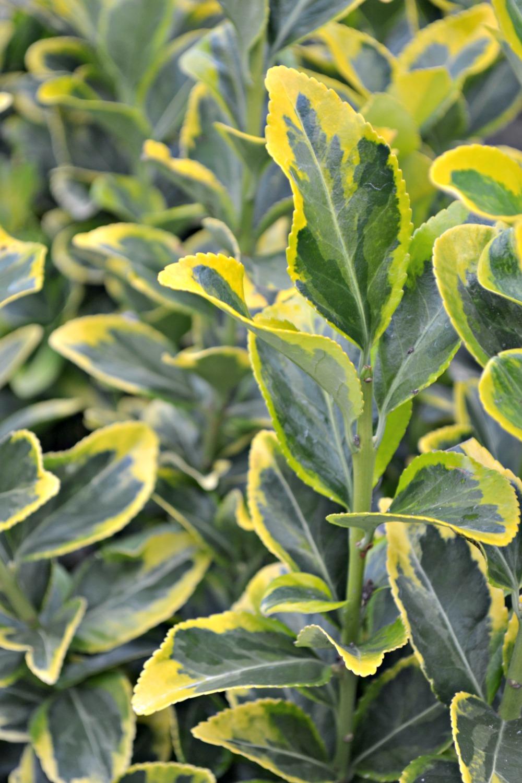 golden euonymus 1