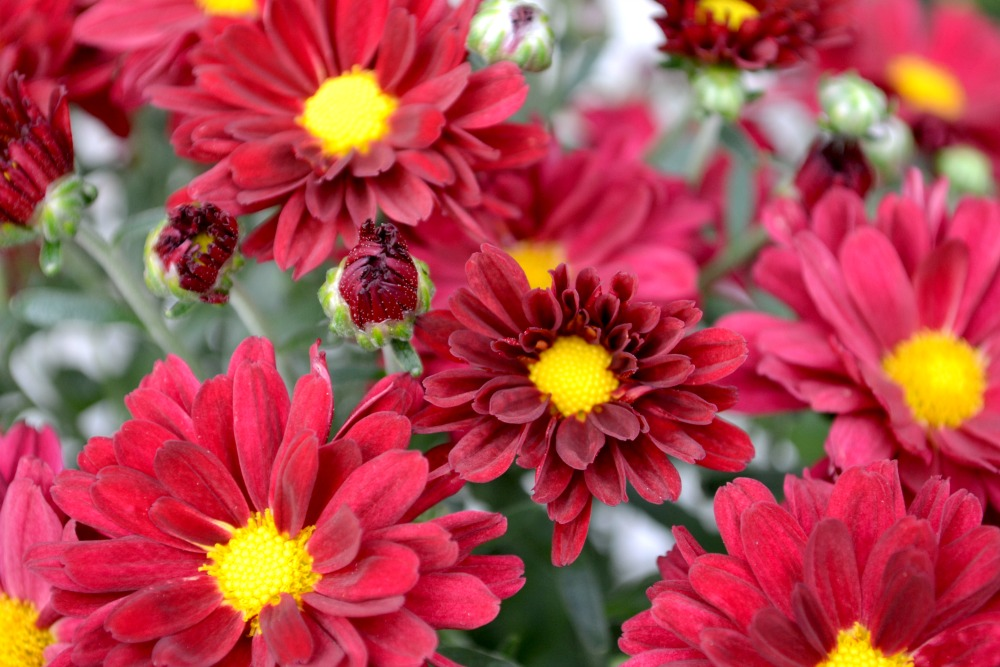 mum red with yellow