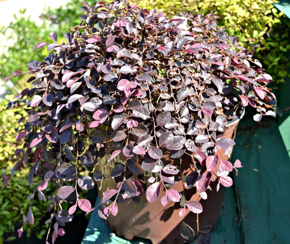 purple pixie plant