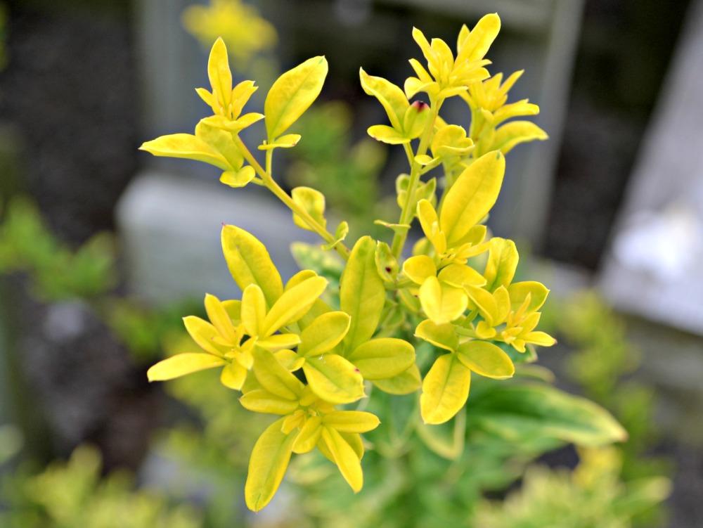 sunglo jasmine 2
