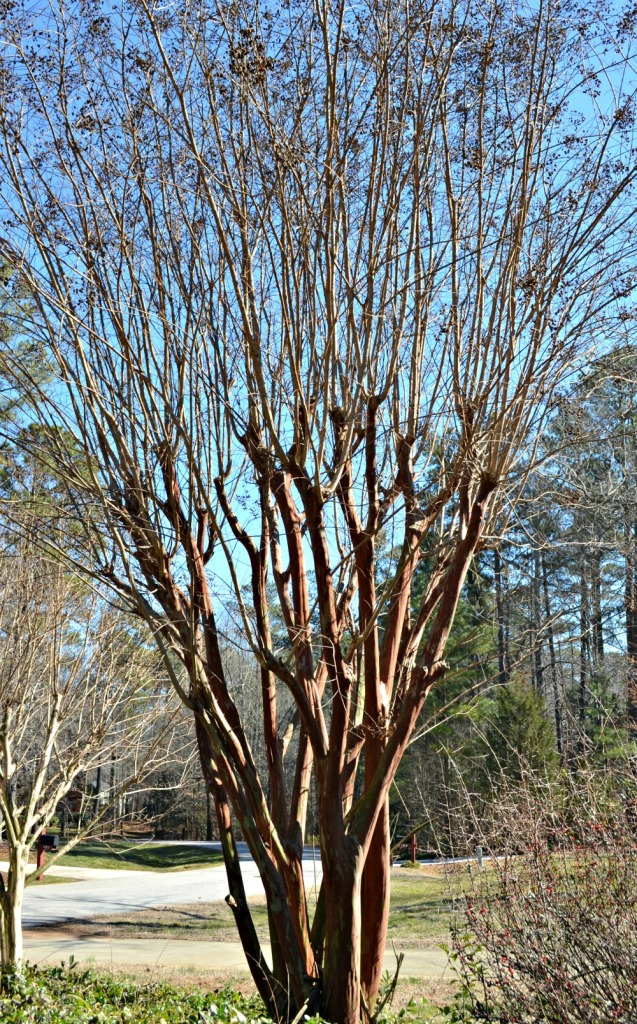 crepe myrtle branching after topping