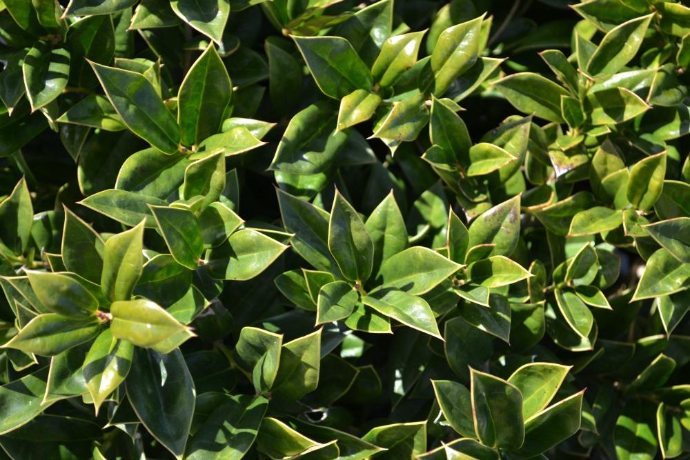 Carissa-Foliage