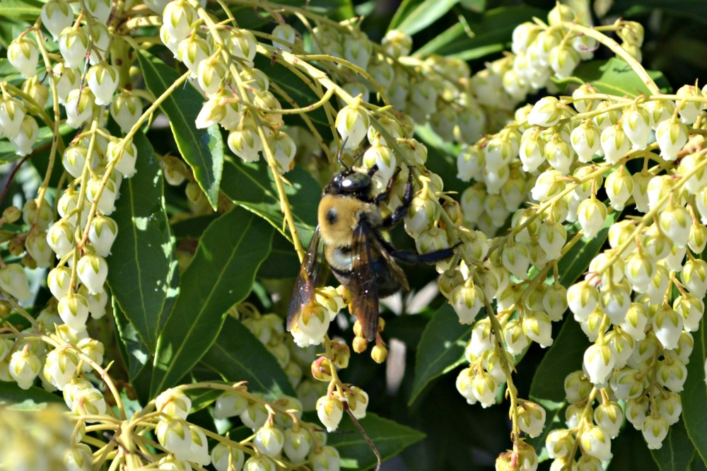bee-pieris