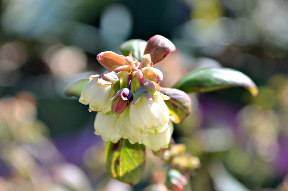 blueberry-bloom