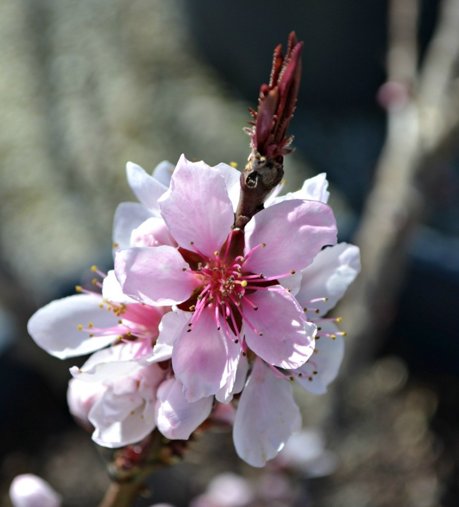 Trees shrubs that bloom in early spring bonfire patio peach flower 927x1024 mightylinksfo