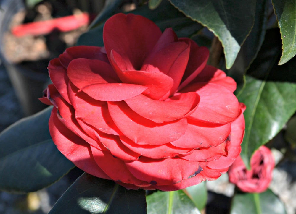 camellia-japonica-red