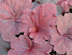 heuchera-red