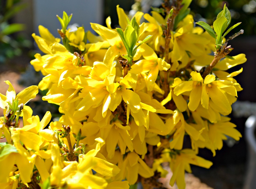 Trees shrubs that bloom in early spring forsythia show offtm starlet mightylinksfo