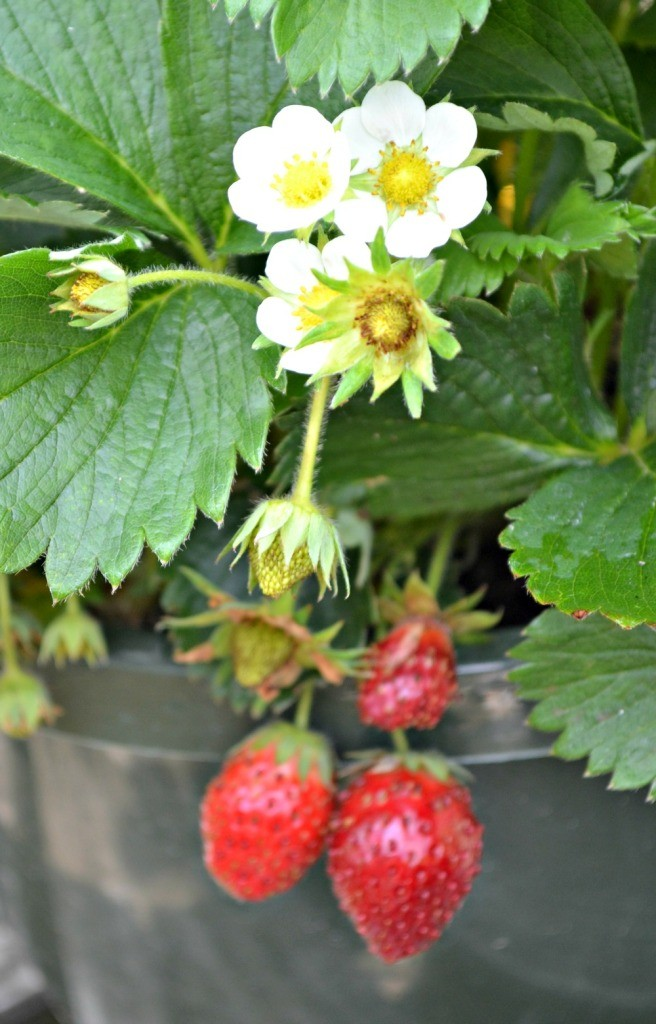 strawberry-656x1024