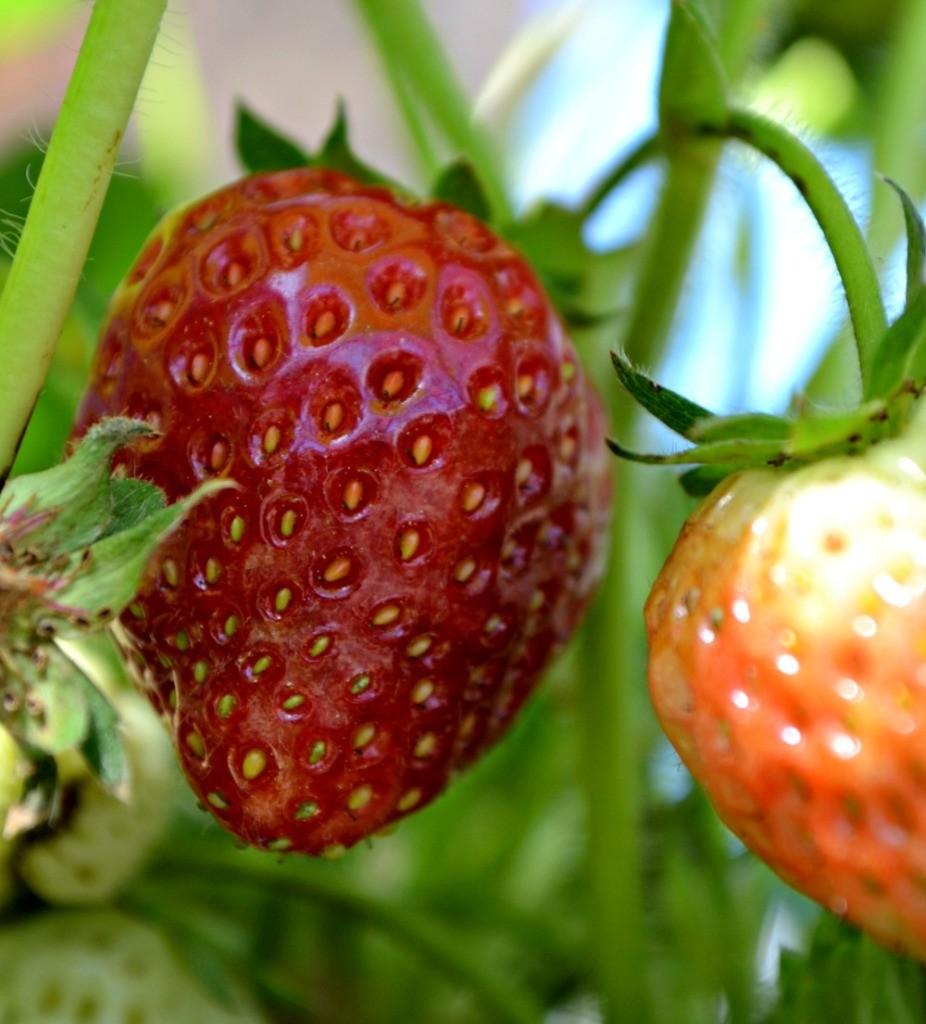 strawberry-hanging-basket-2-926x1024