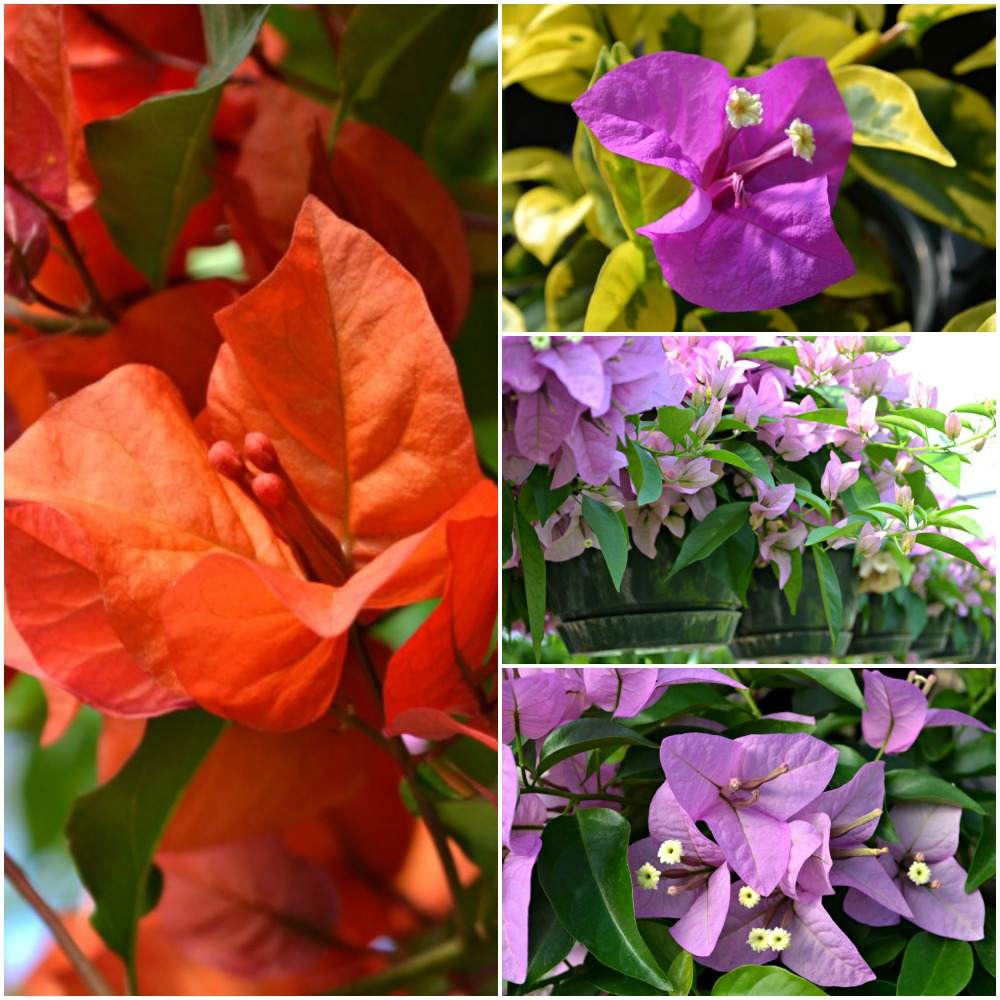 Bougainvillea Collage