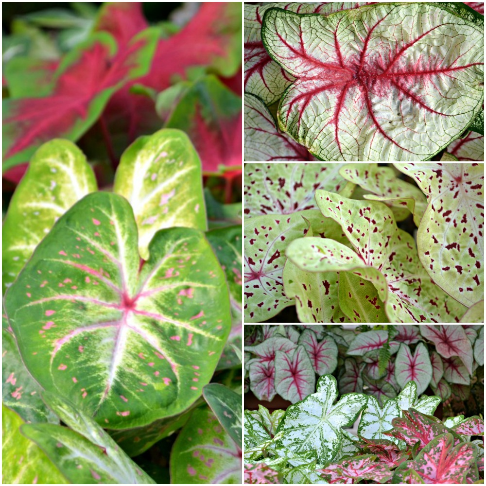 Caladium Collage