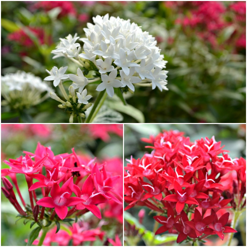 Pentas Collage