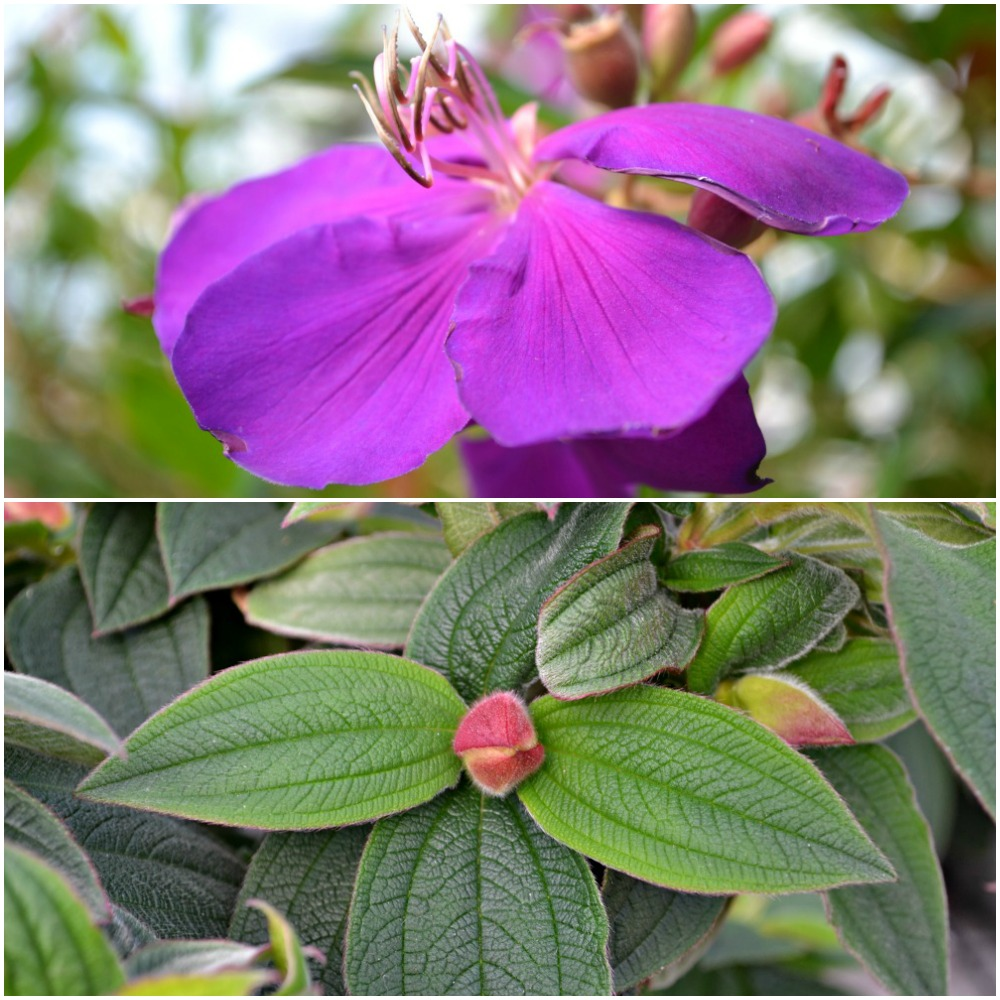 Tibouchina Collage