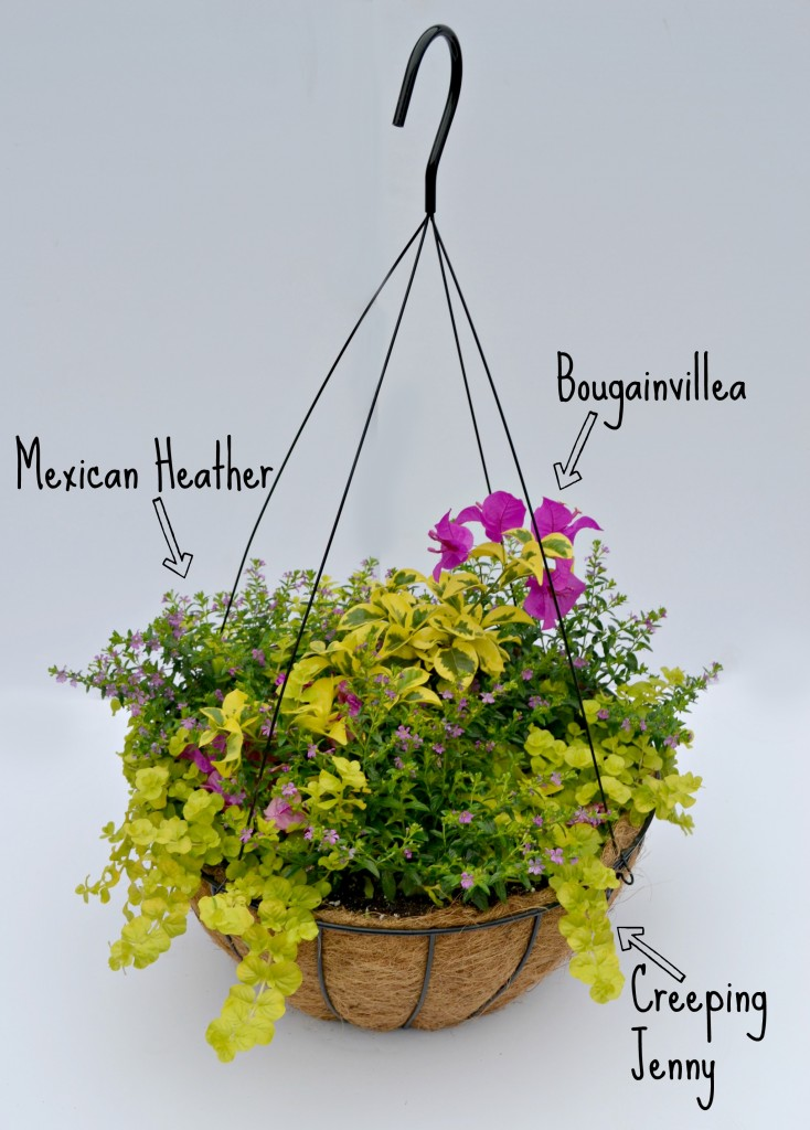 container combo basket bougainvillea heather creeping jenny