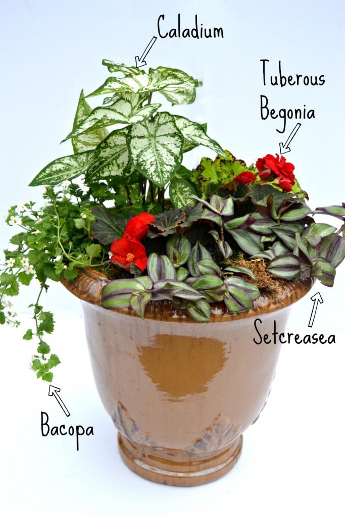 container combo caladium begonia bacopa setcreasea