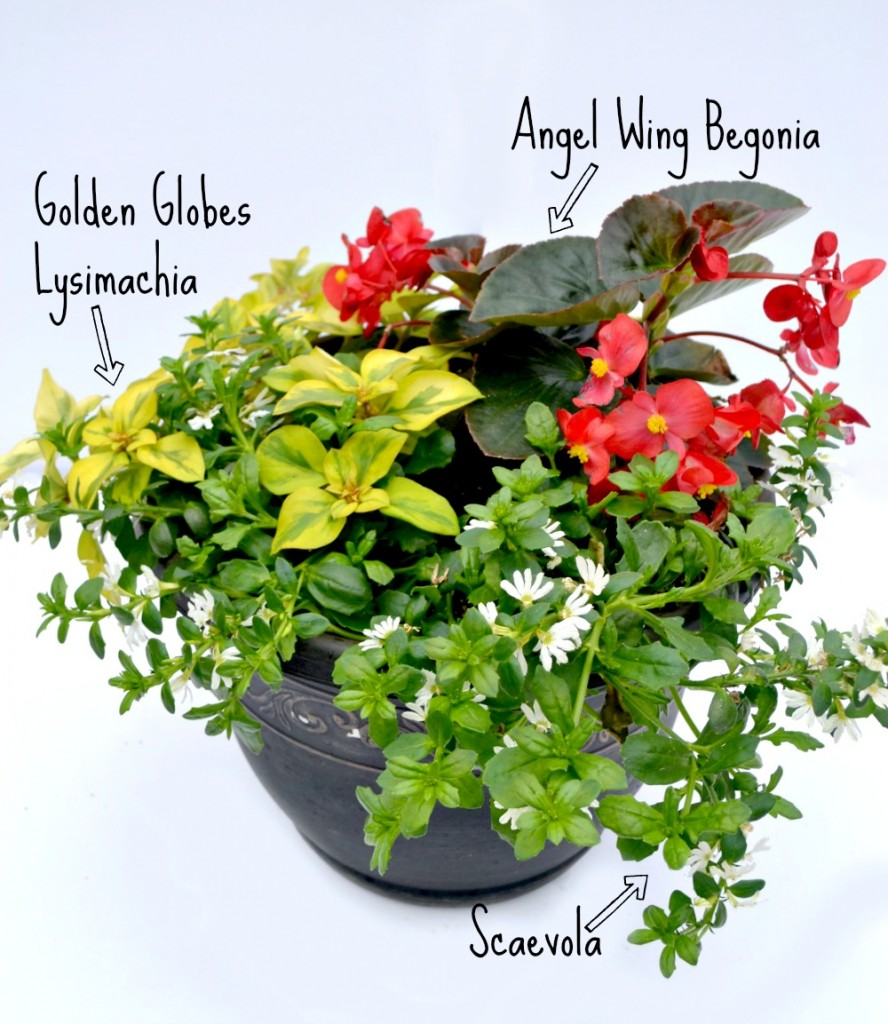 container combo scaevola begonia lysmachia