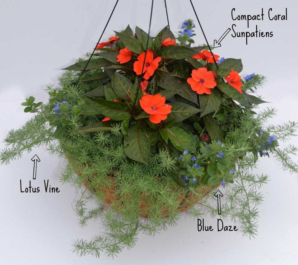 container combo sunpatiens lotus blue daze