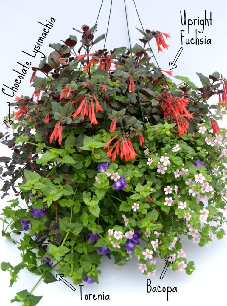 container combo upright fuchsia torenia bacopa