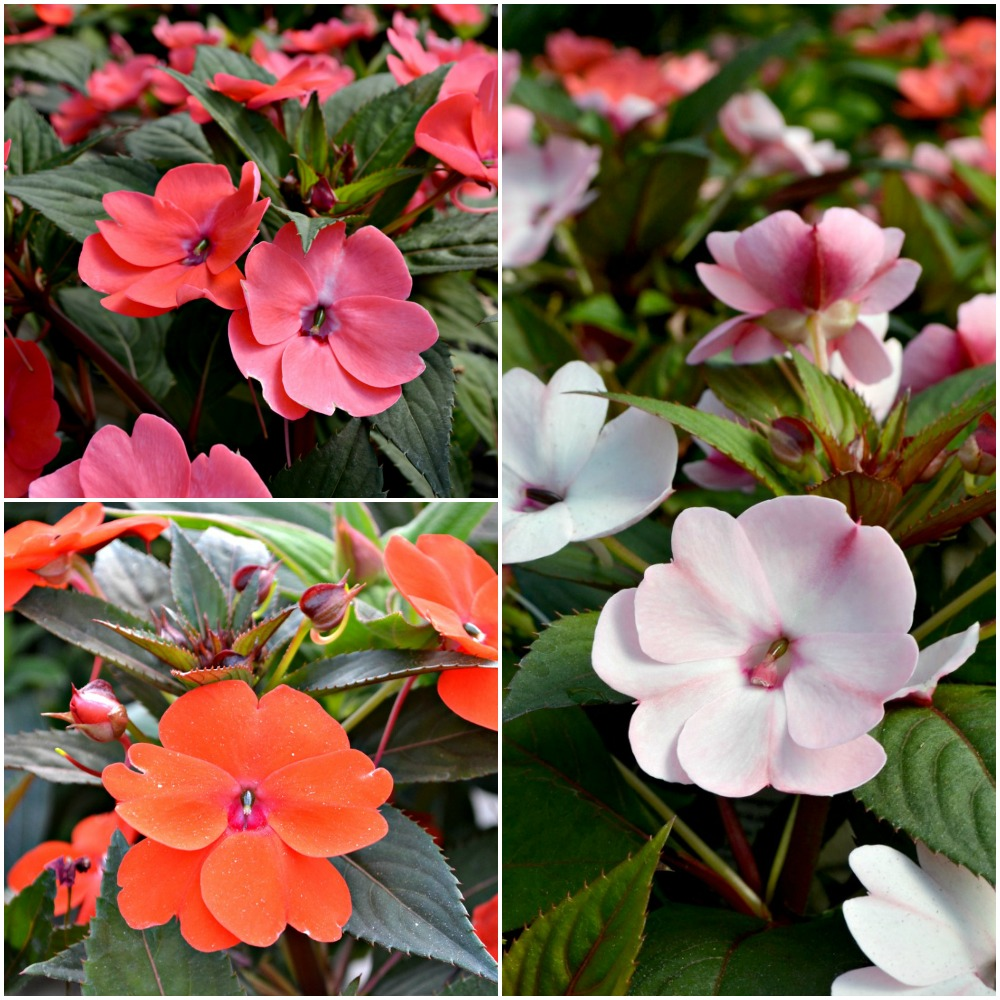sunpatiens Collage