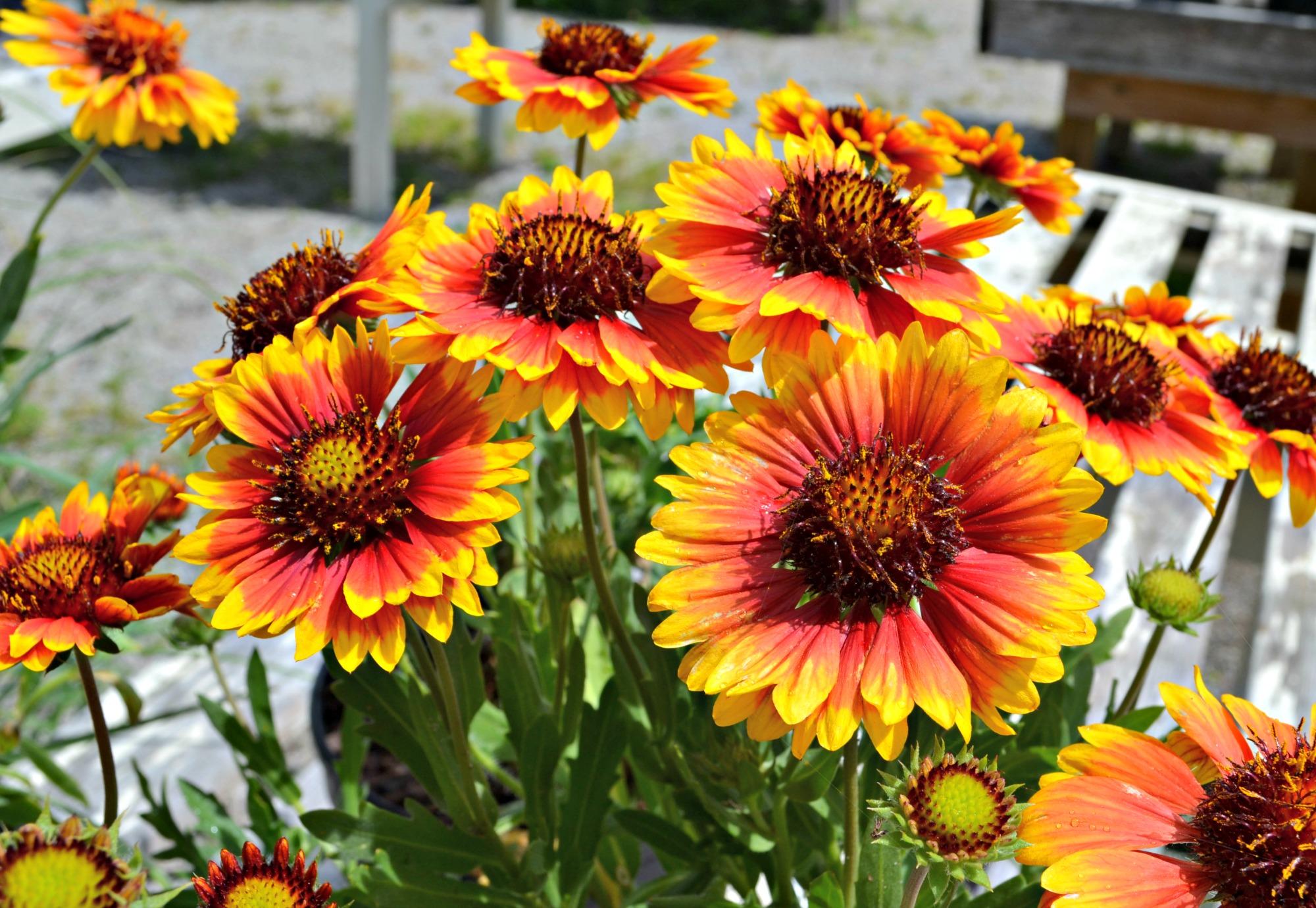 Bright Perennials That Withstand Sun Heat
