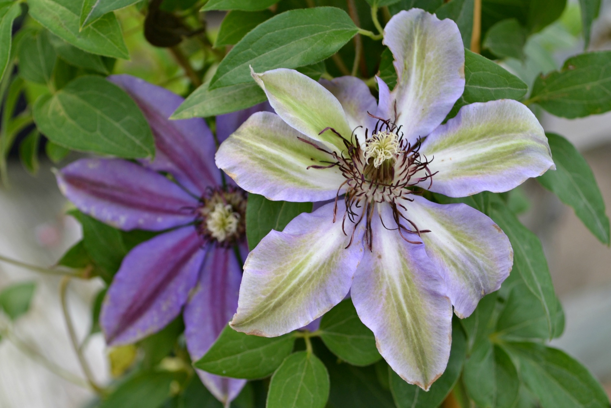 clematis Vancouver starry nights 2