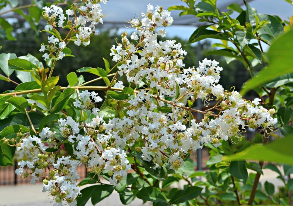 Natchez Crepe Myrtle Bloom