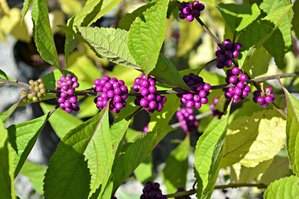 beautyberry branch - Copy