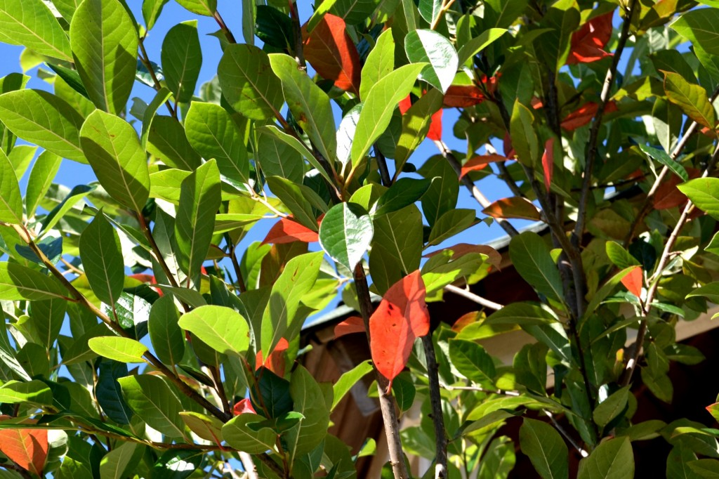 green gable black gum tree
